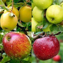 Многосортовые яблони