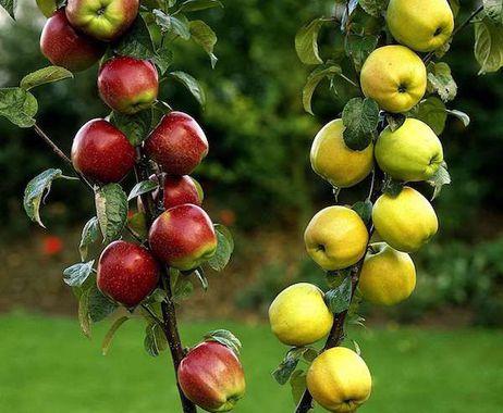 Многосортовые плодовые деревья