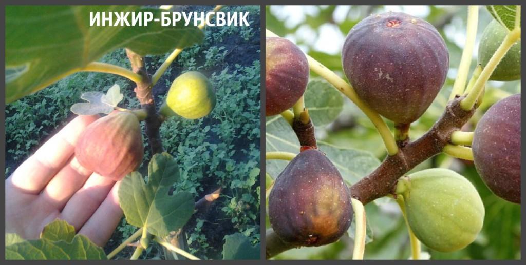 ИНЖИР БРУНСВИК