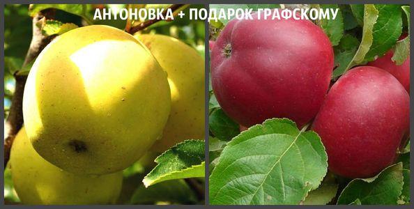 АНТОНОВКА + ПОДАРОК ГРАФСКОМУ